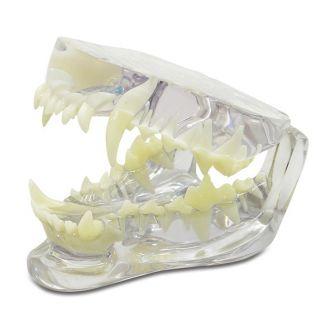 Zahnmodelle