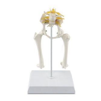Osteo-Modell Hundhüfte