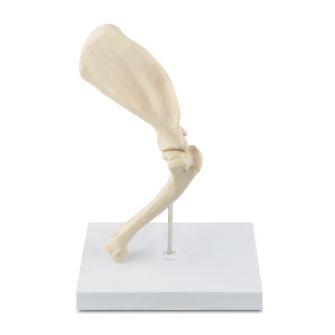Osteo-Modell Hundeschulter