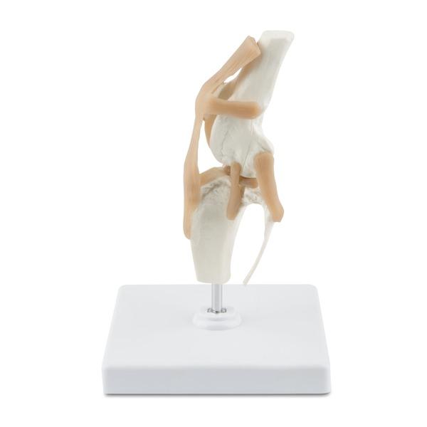 Osteo-Modell Hundeknie